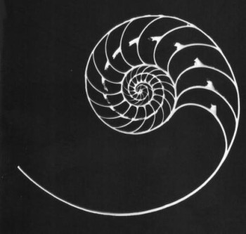 Chambered Nautilus Decal