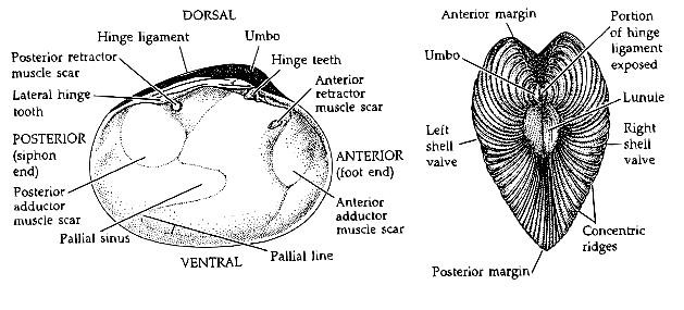 Left Valve And Dorsal View Of A Clam Shell